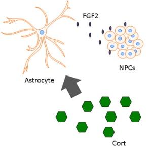astrocytes350